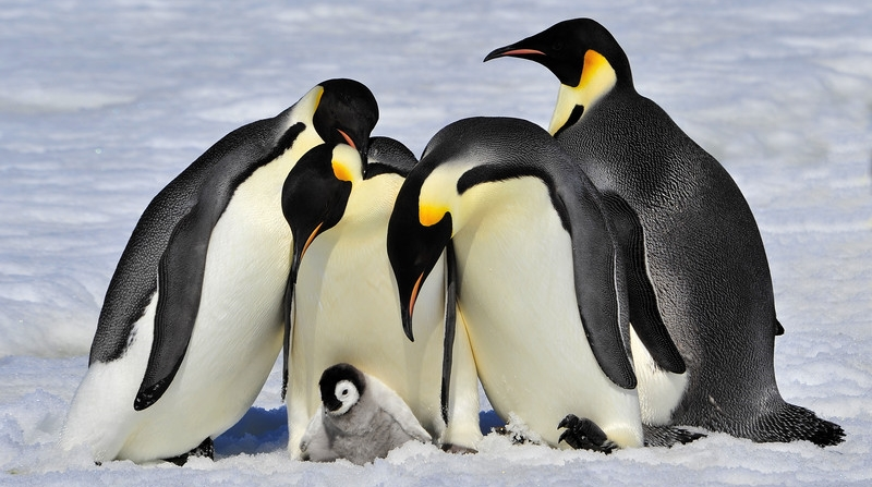 Penguins-800x448